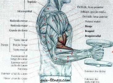 anatomia biceps e triceps