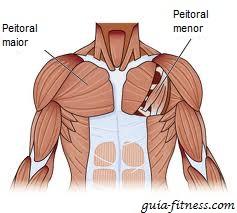 anatomia peitoral